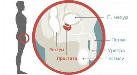 bolesti-na-prostatata-anatomy
