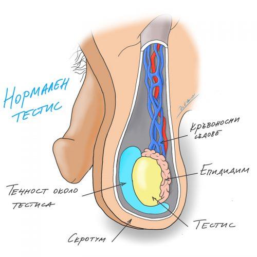normalen-testis-anatomia
